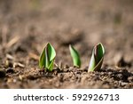 Sprouted Spring Flowers Tulipl...