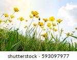 beautiful yellow wild flowers... | Shutterstock . vector #593097977