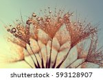 Dew Drops On A Dandelion Seeds...