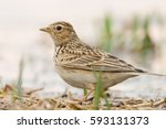 Small photo of Skylark. Eurasian skylark. Alauda arvensis.