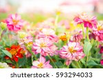 Stock photo pink floral in garden flower zinnia elegant color nature background colorful flowers 593294033