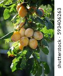 plum on the tree | Shutterstock . vector #593406263