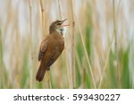 great reed warbler....