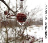 Small photo of water droop on Crataegus laevigata, midland hawthorn, English hawthorn, woodland hawthorn or mayflower seeds in winter