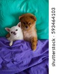 Stock photo sweet and lovely couple of embracing pomeranian puppy dog and chihuahua puppy dog are laying on 593464103