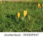 beautiful yellow crocuses in...   Shutterstock . vector #593509547