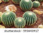 Natural Three Cactus Plants
