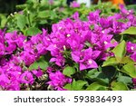 Bougainville Flowers Background