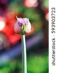 Small photo of purple allium giganteum (allium aflatunence) bud in garden at sunny spring summer day close up on bright multicolored blurred background.