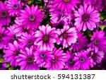 Violet Gerbera Daisy Flower