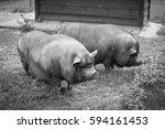 Black Pigs On The Farm