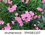 neurium oleander tree   Shutterstock . vector #594381107