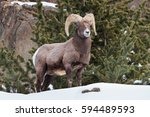 Bighorn Sheep In The Rocky...
