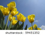 Yellow Tulips Ant View