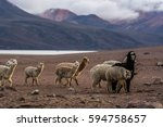 alpaca sheep at the sunset with ...