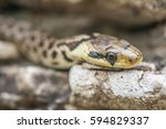 Green Whip Snake  Biacco  Is A...