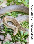 Small photo of Aesculapian snake twisted