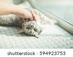 Stock photo hand of asian woman playing with kitten lying under sunlight 594923753