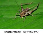 a cricket on leaf | Shutterstock . vector #594959597