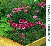 Small photo of Dahlia â??Art Nouveauâ?? with pink Achillea and Rhodohypoxis in a cottage garden