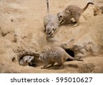Group Meerkats