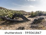 strange trees between dunes and ... | Shutterstock . vector #595061867