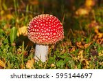 Small photo of Fly Amanita mushroom in autumn light in the forest in fall.