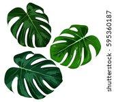 tropical monstera leaves....   Shutterstock .eps vector #595360187
