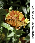 Small photo of Gulf Fritillary Butterfly (Agraulis vanillae), Albuquerque, NM, USA.
