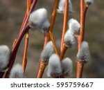 Pussy Willow Branches With...