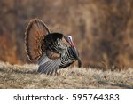 a male wild turkey in full... | Shutterstock . vector #595764383