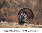 a male wild turkey in full... | Shutterstock . vector #595764887