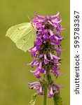 Small photo of common hedgenettle with brimstone butterfly