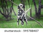Active Cute Dalmatian Running...
