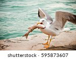 Seagull Eating Fish Near The...