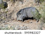 mature collared peccary digging ... | Shutterstock . vector #595982327