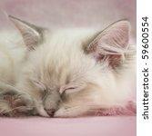 Stock photo ragdoll kitten 59600554