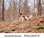 Welsh Springer Spaniel Doing A...