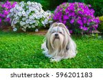 Shih Tzu Dog In Garden With...