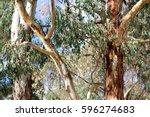abstract australian gum trees | Shutterstock . vector #596274683