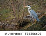 the hunting grey heron  ardea... | Shutterstock . vector #596306603