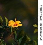 Yellow Chinese Rose  Hibiscus...