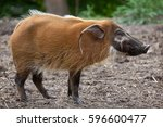 Red River Hog  Potamochoerus...
