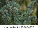 atlas cedar  cedrus atlantica f....   Shutterstock . vector #596604293