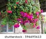 Fuchsia  Hanging Flower In The...