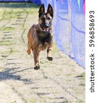Small photo of Excited Malinois chasing a lure