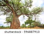 african baobab  adansonia... | Shutterstock . vector #596887913