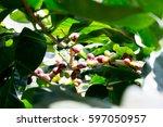 Small photo of coffee bean