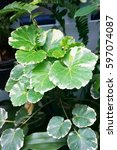 Small photo of Photo of colorful ariegated Balfour aralia ( Polyscias sp ) leaves