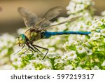 Small photo of Dragonfly Wildlife Fauna, Flying Insect, close-up Aeshna Ayanea.